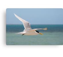 Crested Tern in flight Canvas Print