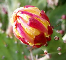 Cactus, the flower bud by georgiegirl