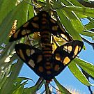 Paired Butterflies by KazM