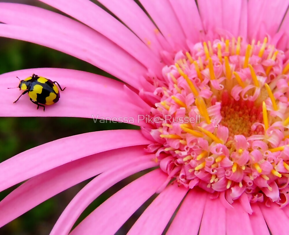 Pink Gerbera with yellow ladybug by Vanessa Pike-Russell