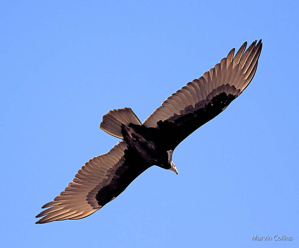 Turkey Vulture by Marvin Collins