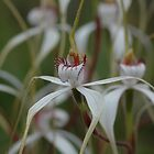 West Australian Orchids by Colin12