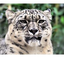 Snow Leapard Photographic Print