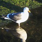 California gull reflecting by jsmusic