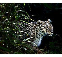 Wild Spots - Leopard (Panthera Pardus)  Photographic Print