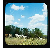 Brahman Cattle Photographic Print