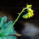 Yellow Echeveria flowers by 7horses