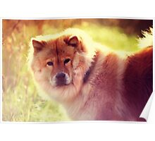 Do Not Disturb. Prince. Chow Chow Dog Poster