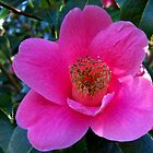 Pink Camellia by hootonles