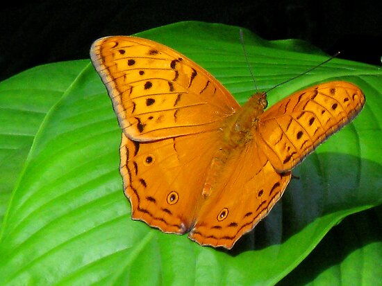 Male Cruiser Butterfly by Marilyn Harris