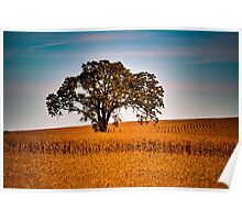 Lone Burr Oak in Cornfield at Sunrise Poster