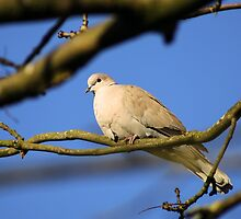 Collared Dove by GreyFeatherPhot