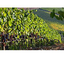 Chianti vinyard Photographic Print