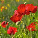 Poppies in Yorkshire by Dave Hare