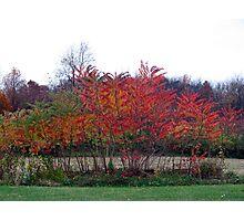 Autumn Sumac Photographic Print