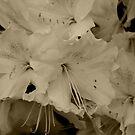 White Azalea by MDossat