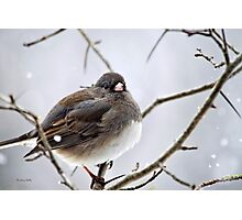 Dark Eyed Junco Photographic Print