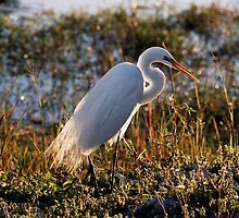 Great White Egret  by clizzio