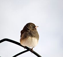 Pretty Winter Junco by Christina Rollo
