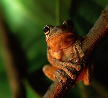 Tree Frog 1 by John Brumfield