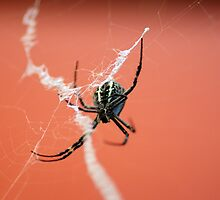 Orb Weaver by Sharon Robertson
