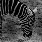 Zebra Stripes by liberthine01