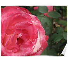Ginormous Rose Poster