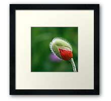 Poppy Bud  Framed Print