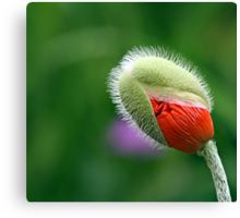 Poppy Bud  Canvas Print