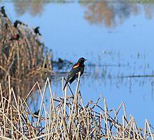 the endangered Tri-Coloured Blackbird by Lenny La Rue, IPA