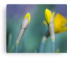 Yellow Daffodils in Spring Canvas Print