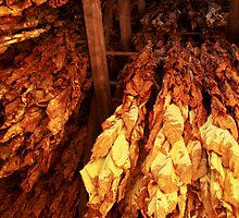 Tobacco Aging by Richard G Witham