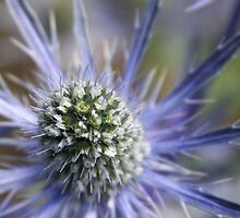 Sea Holly by TomInTacoma