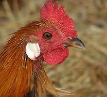 Rare Breed Rooster by angelandspot