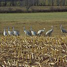 Flock of Sandhill Cranes by Molly  Kinsey