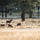 Mule Deer – Bryce Canyon National Park, Utah by Jason Heritage