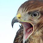 Noisy buzzard by woolcos