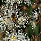 Bee on gum blossom Diamond Creek Track 201502211546 by Fred Mitchell