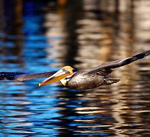 California Brown Pelican by David Orias