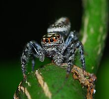 Jumping Spider Pose 1 by sarahncraig