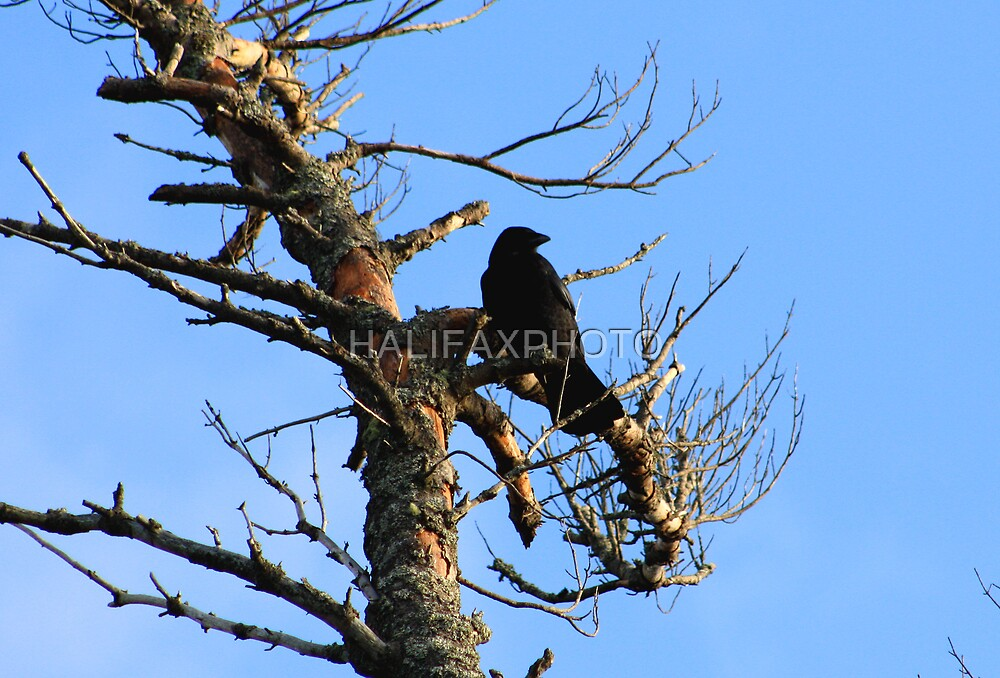 Crow In The Early Morning Light by HALIFAXPHOTO