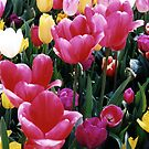 Tulips 2 by evapod