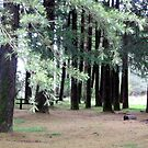 Macedon pines by evapod