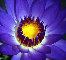 Water Lily by Nickie