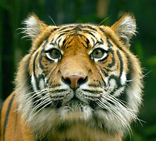 Sumatran Tiger by klphotographics