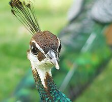Lady Peacock... by Nuh Sarche