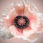 Poppy by Brian Haslam