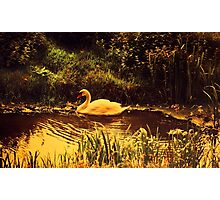 Swan at the Golden Lake  Photographic Print
