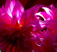 Flaming purple chrysanthemum in the sun by soniamattson