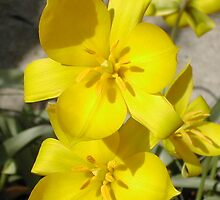 Dutch Lily by JDNarts
